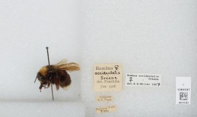 Bombus (Bombus) occidentalis