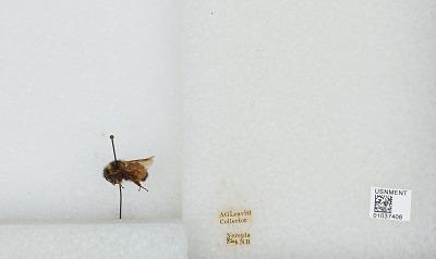 Bombus (Pyrobombus) ternarius