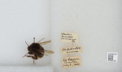 Bombus (Bombus) terrestris canariensis