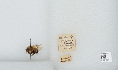 Bombus (Pyrobombus) vagans vagans Smith