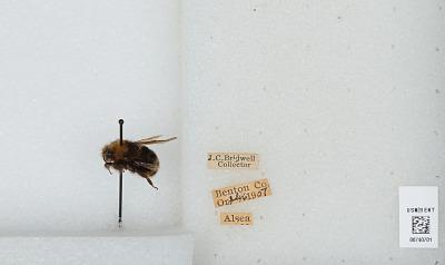 Bombus (Pyrobombus) vosnesenskii Radoszkowski
