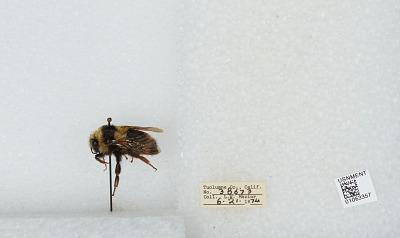 Bombus bifarius nearcticus