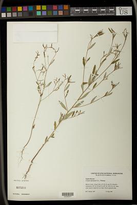 Crotonopsis linearis Michx.