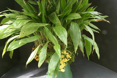 Gongora galeata (Lindl.) Rchb. f.