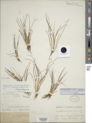 Isoetes saccharata var. reticulata A.A. Eaton