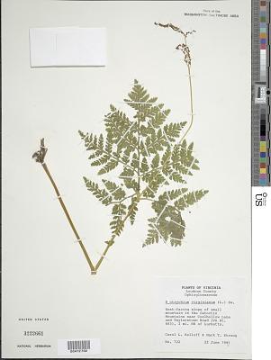 Botrychium virginianum (L.) Sw.