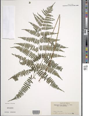 Athyrium filix-femina var. asplenioides (Michx.) Farw.