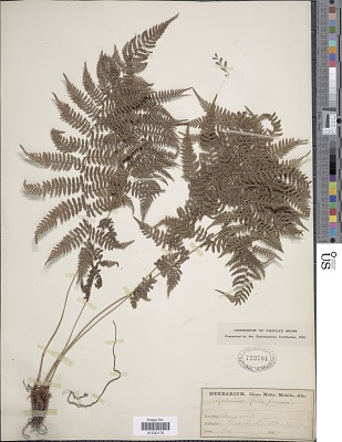 Athyrium filix-femina (L.) Roth
