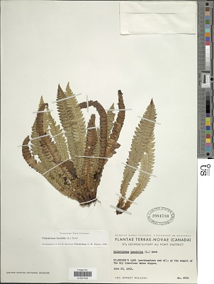 Polystichum lonchitis (Roth) L.