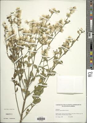 Baccharis glomeruliflora Pers.