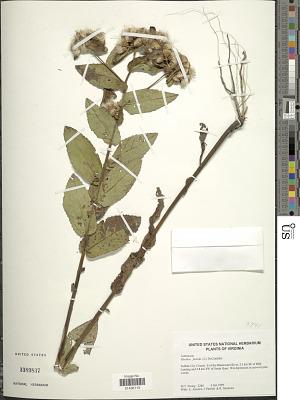 Pluchea foetida (L.) DC.