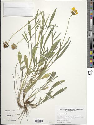 Coreopsis lanceolata L.
