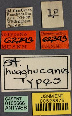 Stenamma huachucanum