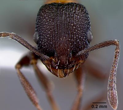 Leptothorax ocarinae