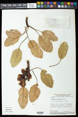Kielmeyera petiolaris Mart. & Zucc.
