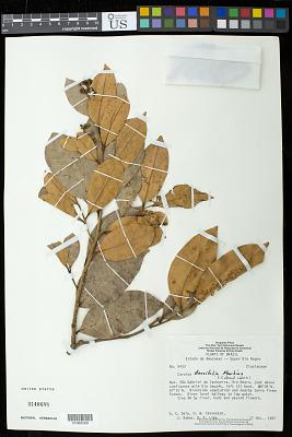 Caraipa densiflora
