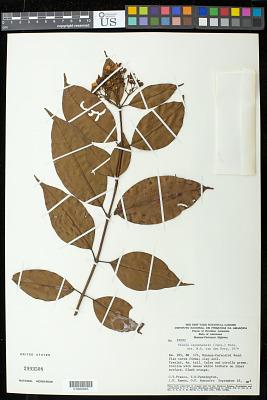 Vismia cayennensis (Jacq.) Pers.