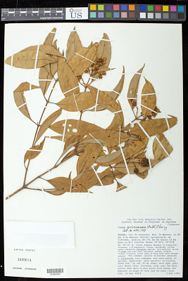 Vismia guianensis