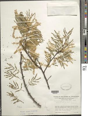Mimosa arenosa (Willd.) Poir.