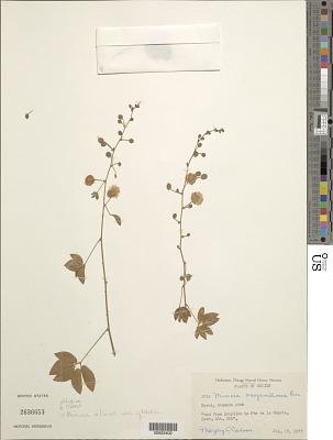 Mimosa albida var. glabrior B.L. Rob.