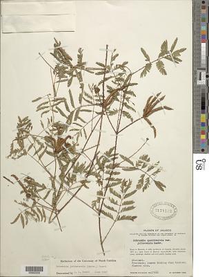 Schrankia jaliscensis (J.F. Macbr.) McVaugh