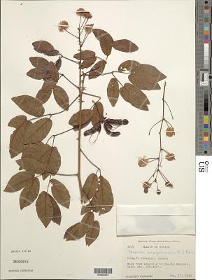 Mimosa acapulcensis B.L. Rob.