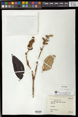 Miconia sclerophylla Triana