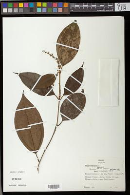 Miconia platypoda Gleason