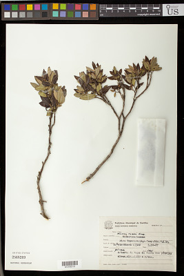 Miconia ramboi Brade