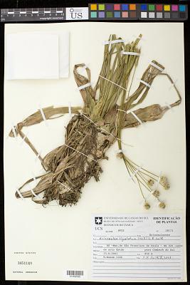 Eriocaulon ligulatum (Vell.) L.B. Sm.