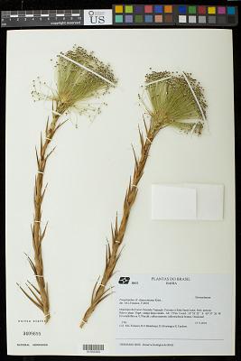Actinocephalus claussenianus (Körn.) Sano