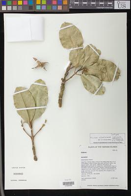 Melicope oppenheimeri K.R. Wood et al.