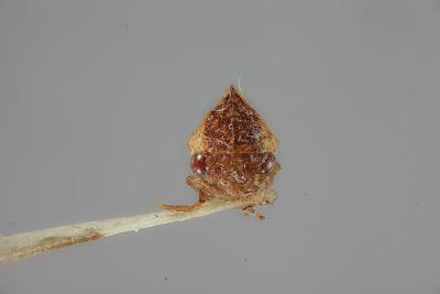 Amastris pseudomaculata Broomfield, 1976