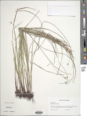 Scleria ciliata Michx.