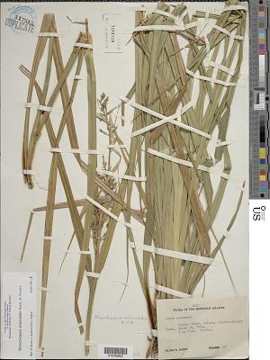 Rhynchospora sclerioides Hook. & Arn.