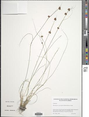Rhynchospora microcephala (Britton) Britton ex Small