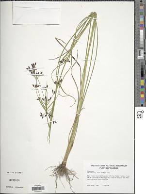 Rhynchospora nitens (Vahl) A. Gray