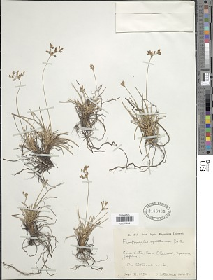 Fimbristylis spathacea Roth