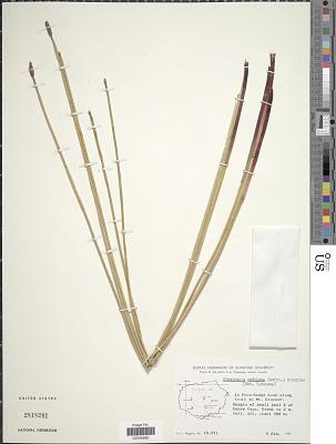 Eleocharis nodulosa (Roth) Schult.