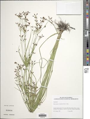 Rhynchospora scirpoides (Torr.) Griseb.