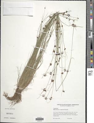 Rhynchospora wrightiana Boeckeler