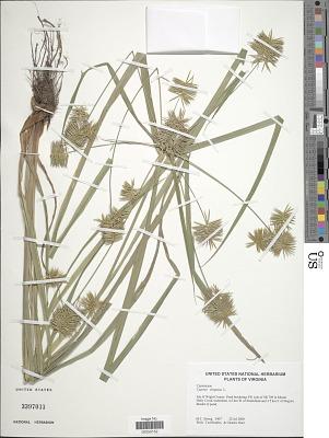 Cyperus strigosus L.