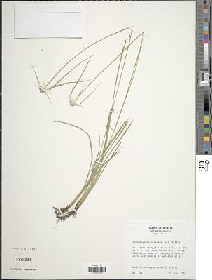 Rhynchospora colorata (L.) H. Pfeiff.