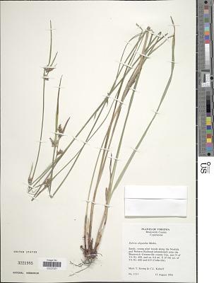Scleria oligantha
