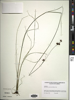 Rhynchospora fascicularis (Michx.) Vahl