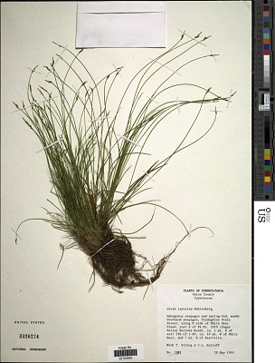Carex leptalea Wahlenb.