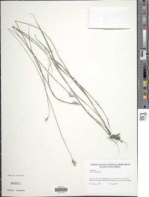 Carex longii Mack.