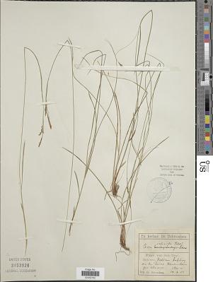 Carex refracta Roth