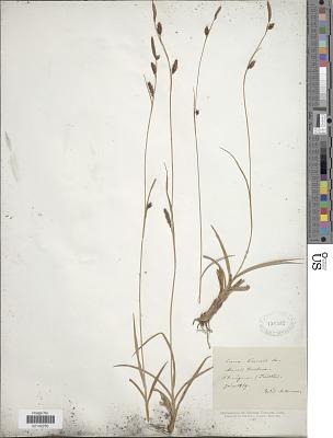 Carex binervis Sm.