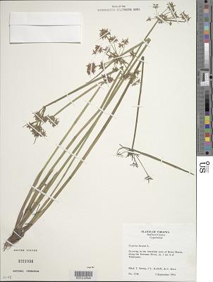 Cyperus haspan L.